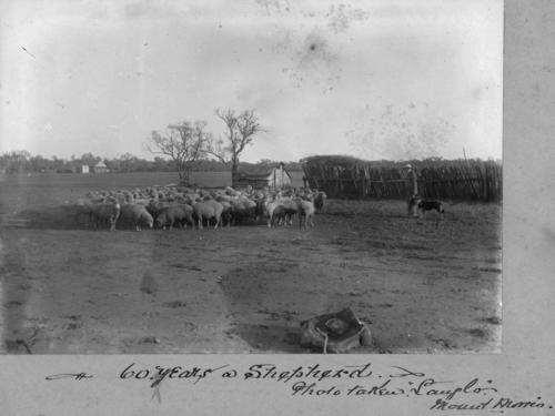 Queensland Shepherd tends his flock
